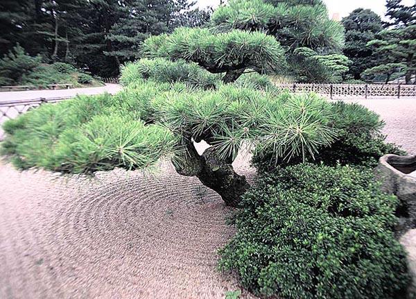 Giappone - Pino nano da giardino ...